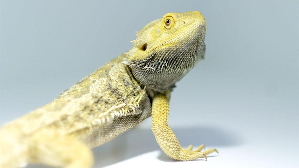 Bearded_Dragon