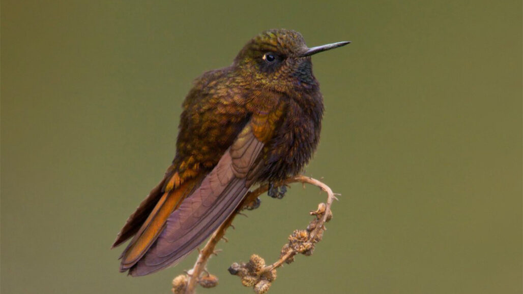 hummingbirds-black-metaltail-survives-cold-torpor